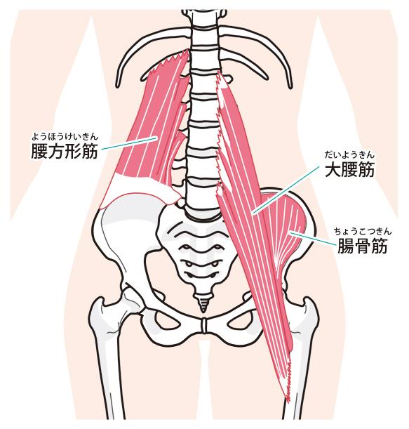 大腰筋、腸骨筋、腰方形筋のイラスト